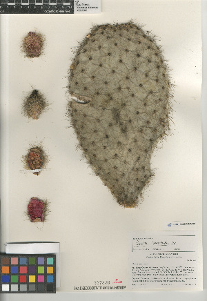 (Opuntia leucotricha - CCDB-24960-C03)  @11 [ ] CreativeCommons - Attribution Non-Commercial Share-Alike (2015) SDNHM San Diego Natural History Museum