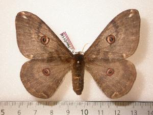 (Saturnia sp - BC-Her0118)  @13 [ ] Copyright (2010) Daniel Herbin Research Collection of Daniel Herbin