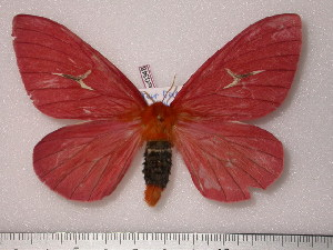 (Cerodirphia roseissima - BC-Her0348)  @14 [ ] Copyright (2010) Daniel Herbin Research Collection of Daniel Herbin