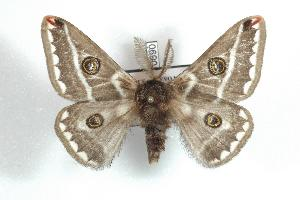 (Saturnia dentifasciata - BC-Her0690)  @14 [ ] Copyright (2010) Daniel Herbin Research Collection of Daniel Herbin