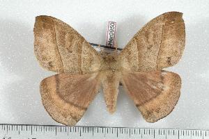 (Prohylesia peruviana - BC-Her0950)  @14 [ ] Copyright (2010) Daniel Herbin Research Collection of Daniel Herbin