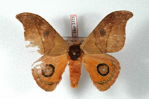 (Automeris lenarti - BC-Her2321)  @14 [ ] Copyright (2010) Daniel Herbin Research Collection of Daniel Herbin