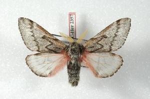 (Coloradia vazquezae - BC-Her2357)  @15 [ ] Copyright (2010) Daniel Herbin Research Collection of Daniel Herbin