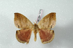 (Prohylesia zikani - BC-Her2473)  @14 [ ] Copyright (2010) Daniel Herbin Research Collection of Daniel Herbin