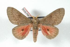 (Syssphinx hubbardi - BC-Her3116)  @15 [ ] Copyright (2010) Daniel Herbin Research Collection of Daniel Herbin