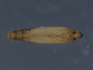 (Phyllocnistis gracilistylella - NK633)  @11 [ ] Copyright (2018) Natalia Kirichenko Sukachev Institute of Forest SB RAS, Krasnoyarsk