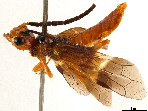 (Pamphiliidae - CCDB-34062-A11)  @15 [ ] CreativeCommons - Attribution Non-Commercial Share-Alike (2019) CBG Photography Group Centre for Biodiversity Genomics