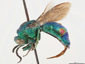 (Pentachrysis - CCDB-34077-B11)  @11 [ ] CreativeCommons - Attribution Non-Commercial Share-Alike (2019) CBG Photography Group Centre for Biodiversity Genomics