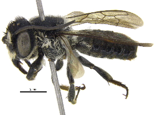 (Megachile disjuncta - 06743A03-THA)  @15 [ ] CreativeCommons - Attribution Non-Commercial Share-Alike (2016) CBG Photography Group Centre for Biodiversity Genomics