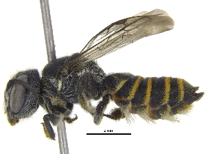 (Megachile Chelostomoda sp2 - 06743A07-THA)  @15 [ ] CreativeCommons - Attribution Non-Commercial Share-Alike (2016) CBG Photography Group Centre for Biodiversity Genomics
