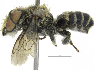 (Megachile sp. aff. tranquilla - 06744D11-THA)  @14 [ ] CreativeCommons - Attribution Non-Commercial Share-Alike (2016) CBG Photography Group Centre for Biodiversity Genomics