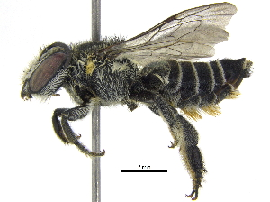 (Megachile sp. aff. tranquilla - 06744G09-THA)  @15 [ ] CreativeCommons - Attribution Non-Commercial Share-Alike (2016) CBG Photography Group Centre for Biodiversity Genomics
