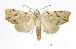 (Mecistoptera - USNM ENT 00208036)  @15 [ ] Unspecified (default): All Rights Reserved  Unspecified Unspecified