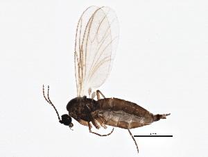(Lycoriella sativae - BIOUG05503-F04)  @14 [ ] CC-0 (2013) CBG Photography Group Centre for Biodiversity Genomics