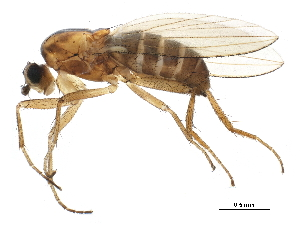 (Lonchoptera occidentalis - BIOUG22003-C07)  @15 [ ] CC-0 (2015) CBG Photography Group Centre for Biodiversity Genomics