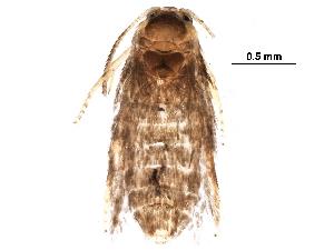 (Stigmella QuercusalbaVT - BIOUG31027-B03)  @12 [ ] CreativeCommons - Attribution Non-Commercial Share-Alike (2016) CBG Photography Group Centre for Biodiversity Genomics