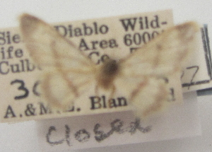 (Idaea knudsonaria - BIOUG10947-C03)  @12 [ ] CreativeCommons - Attribution Non-Commercial Share-Alike (2014) Charles Covell University of Florida