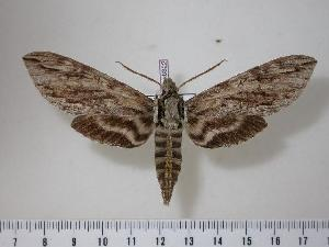 (Lintneria tricolor - BC-Hax0322)  @14 [ ] Copyright (2010) Jean Haxaire Research Collection of Jean Haxaire