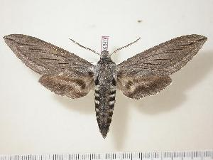 (Sphinx asellus - BC-Hax0340)  @15 [ ] Copyright (2010) Jean Haxaire Research Collection of Jean Haxaire