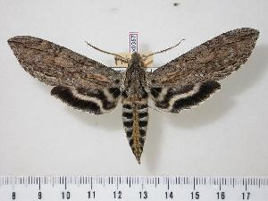 (Lintneria merops - BC-Hax0357)  @15 [ ] Copyright (2010) Jean Haxaire Research Collection of Jean Haxaire