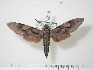 (Sphinx oberthueri - BC-Hax0376)  @14 [ ] Copyright (2010) Jean Haxaire Research Collection of Jean Haxaire