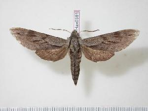 (Sphinx morio - BC-Hax0381)  @14 [ ] Copyright (2010) Jean Haxaire Research Collection of Jean Haxaire