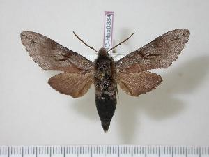 (Sphinx caligineus - BC-Hax0384)  @15 [ ] Copyright (2010) Jean Haxaire Research Collection of Jean Haxaire