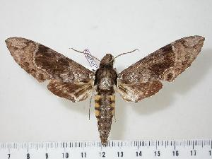 (Manduca brunalba - BC-Hax1873)  @14 [ ] Copyright (2010) Jean Haxaire Research Collection of Jean Haxaire