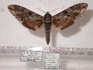(Ceratomia paltingi - BC-Mel0036)  @14 [ ] Copyright (2010) Tomas Melichar Research Collection of Tomas Melichar