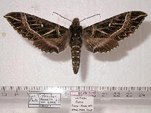(Euryglottis davidianus - BC-Mel0046)  @14 [ ] Copyright (2010) Tomas Melichar Research Collection of Tomas Melichar