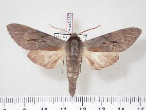 (Lapara coniferarum - BC-Hax3137)  @14 [ ] Copyright (2010) Jean Haxaire Research Collection of Jean Haxaire