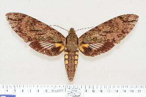 (Cocytius lucifer - BC-Hax4191)  @15 [ ] Copyright (2010) Jean Haxaire Research Collection of Jean Haxaire
