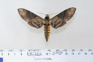 (Manduca contracta - BC-Hax4265)  @15 [ ] Copyright (2010) Jean Haxaire Research Collection of Jean Haxaire
