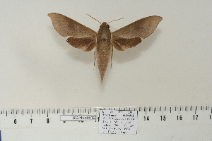 (Xylophanes porcus continentalis - BC-Hax4612)  @14 [ ] Copyright (2010) Jean Haxaire Research Collection of Jean Haxaire