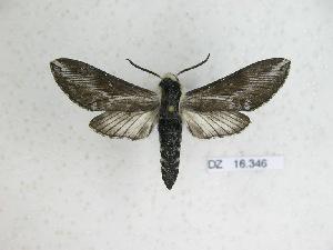 (Neogene dynaeus - BC-DZ 16.346)  @14 [ ] Copyright (2010) Carlos Mielke Research Collection of Carlos Mielke