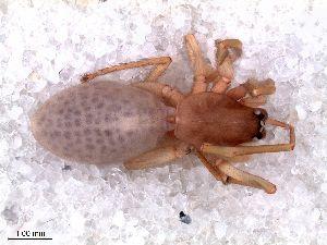 (Orsolobidae - MLB 04407)  @11 [ ] CreativeCommons - Attribution Non-Commercial Share-Alike (2015) Matias A. Izquierdo Museo Argentino de Ciencias Naturales