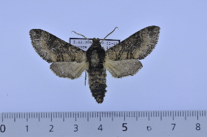 (Praedora tropicalis - SP9840)  @13 [ ] Copyright (2010) Pierre Schmit Research Collection of Pierre Schmit