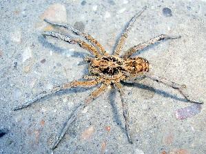 (Lycosidae - CCDB-10206-F05)  @16 [ ] Copyright  A. Nadolny 2011 Unspecified
