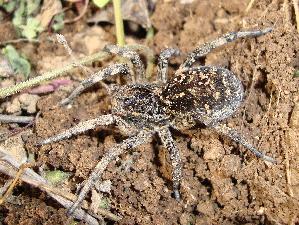 (Lycosidae - CCDB-10206-F07)  @16 [ ] Copyright  A. Nadolny 2011 Unspecified