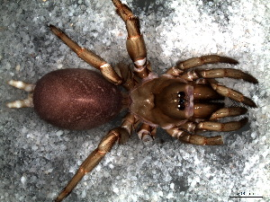 (Halonoproctidae - STC1N4A001)  @13 [ ] CreativeCommons - Attribution  Facundo M. Labarque Museo Argentino de Ciencias Naturales