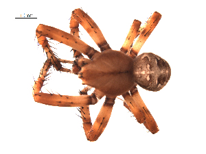 (Araneus yukon - BIOUG00178-C12)  @14 [ ] Copyright  G. Blagoev 2010 Unspecified