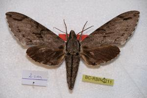(Psilogramma andamanica - BC-RBP-0211)  @14 [ ] Copyright (2010) Ron Brechlin Research Collection of Ron Brechlin