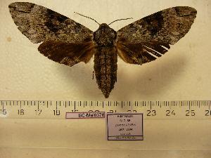 (Psilogramma casuarinae - BC-Mel 0376)  @15 [ ] Copyright (2010) Tomas Melichar Research Collection of Tomas Melichar