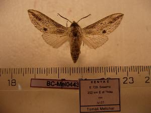 (Ellenbeckia monospila - BC-Mel 0443)  @13 [ ] Copyright (2010) Tomas Melichar Research Collection of Tomas Melichar
