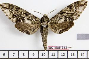 (Ceratomia mooseri - BC-Mel1942)  @13 [ ] Copyright (2010) Tomas Melichar Research Collection of Tomas Melichar