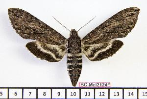 (Lintneria biolleyi - BC-Mel2124)  @15 [ ] Copyright (2010) Tomas Melichar Research Collection of Tomas Mleichar