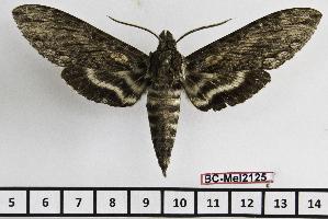 (Lintneria geminus - BC-Mel2125)  @15 [ ] Copyright (2010) Tomas Melichar Research Collection of Tomas Mleichar