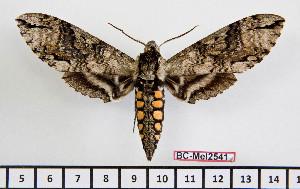 (Manduca boliviana - BC-Mel2541)  @15 [ ] Copyright (2010) Tomas Melichar Research Collection of Tomas Mleichar
