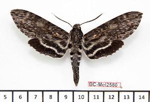 (Lintneria lugens - BC-Mel2580)  @14 [ ] Copyright (2010) Tomas Melichar Research Collection of Tomas Mleichar