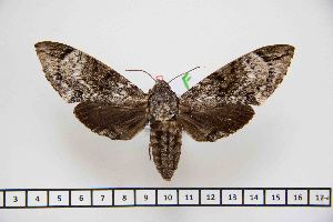 (Psilogramma gloriosa - BC-Mel2861)  @14 [ ] Copyright (2013) Tomas Melichar Research Collection of Tomas Mleichar